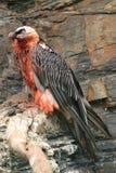 Avvoltoio barbuto Fotografie Stock Libere da Diritti