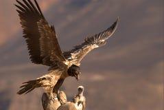 Avvoltoio barbuto Fotografia Stock