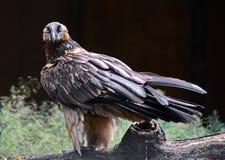 Avvoltoio barbuto Immagini Stock Libere da Diritti