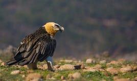 Avvoltoio barbuto Fotografia Stock Libera da Diritti