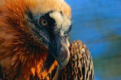 Avvoltoio barbuto, barbatus del Gypaetus, in habitat di pietra, ritratto della fattura del dettaglio, Spagna Fotografia Stock