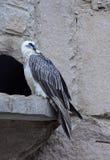 Avvoltoio barbuto nella cattività Fotografie Stock Libere da Diritti