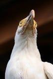 Avvoltoio bianco immagini stock