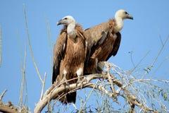 Avvoltoio BIKANER Immagini Stock