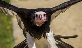 Avvoltoio capo bianco Immagini Stock