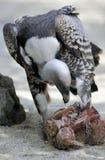 Avvoltoio che mangia carne Immagini Stock