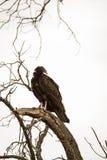 Avvoltoio che roosting per la notte Fotografia Stock Libera da Diritti