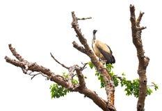 Avvoltoio che si siede sull'albero durante il safari in Africa Immagini Stock Libere da Diritti
