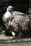 Avvoltoio Cinereous Immagini Stock