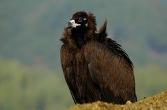 Avvoltoio Cinereous Immagini Stock Libere da Diritti