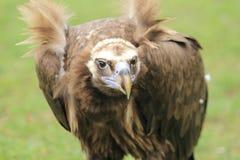 Avvoltoio Cinereous Fotografie Stock