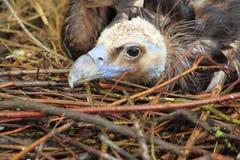 Avvoltoio Cinereous Fotografia Stock Libera da Diritti