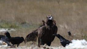 Avvoltoio Cinereous che guarda intorno video d archivio