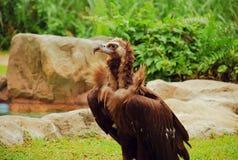 Avvoltoio cinereous di Brown immagini stock libere da diritti