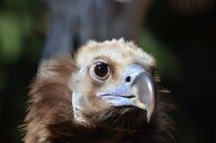 Avvoltoio cinereous femminile Fotografie Stock Libere da Diritti