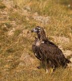 Avvoltoio Cinereous sulla terra Fotografia Stock Libera da Diritti