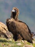 Avvoltoio Cinerous Immagine Stock