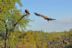 Avvoltoio circa da colpire Fotografia Stock