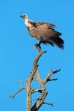 Avvoltoio dal dorso bianco Fotografia Stock Libera da Diritti