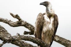 Avvoltoio dal dorso bianco immagine stock libera da diritti