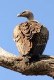 Avvoltoio dal dorso bianco africano Fotografie Stock Libere da Diritti