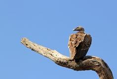 Avvoltoio dal dorso bianco africano Immagine Stock Libera da Diritti