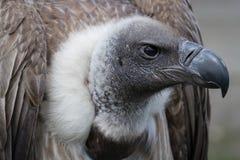 Avvoltoio dal dorso bianco africano Fotografia Stock Libera da Diritti