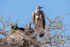 Avvoltoio dal dorso bianco (africanus dei Gyps) Fotografia Stock Libera da Diritti