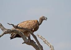 Avvoltoio dal dorso bianco sull'allerta in Africa Fotografia Stock Libera da Diritti
