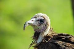 avvoltoio dalla faccia  Immagine Stock