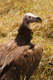 avvoltoio dalla faccia mussolina in savanna africana Immagini Stock Libere da Diritti