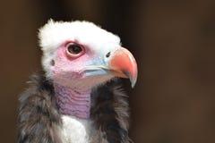 avvoltoio dalla testa bianco (occipitalis di Trigonoceps) Immagini Stock Libere da Diritti