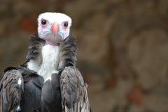 avvoltoio dalla testa bianco (occipitalis di Trigonoceps) Fotografia Stock