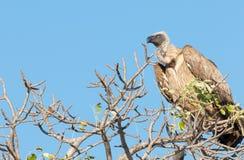 Avvoltoio del capo Immagini Stock Libere da Diritti