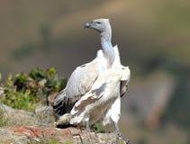 Avvoltoio del capo Fotografia Stock Libera da Diritti
