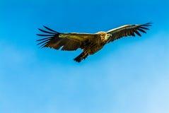 Avvoltoio del capo Immagine Stock Libera da Diritti