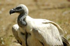 Avvoltoio del capo Fotografia Stock