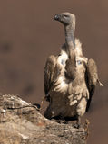 Avvoltoio del capo che sta sull'orlo di una roccia Immagine Stock