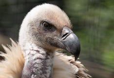 Avvoltoio del capo, grande rapace indigeno all'area, fotografata nelle montagne di Drakensberg, picco di Cathkin, Afri del sud immagini stock