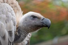 Avvoltoio del capo, grande rapace indigeno all'area, fotografata nelle montagne di Drakensberg, picco di Cathkin, Afri del sud immagini stock libere da diritti