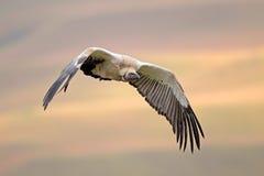 Avvoltoio del capo in volo fotografie stock libere da diritti
