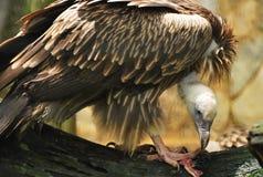 Avvoltoio del grifone Fotografia Stock Libera da Diritti