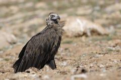 Avvoltoio del monaco Immagini Stock