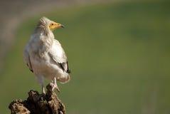 Avvoltoio dell'organismo saprofago Fotografie Stock