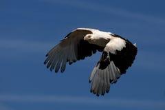 avvoltoio della Palma-noce durante il volo Immagini Stock