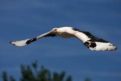 avvoltoio della Palma-noce durante il volo Fotografia Stock
