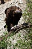 Avvoltoio della rana pescatrice Immagine Stock Libera da Diritti