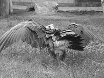 Avvoltoio della rana pescatrice fotografia stock libera da diritti