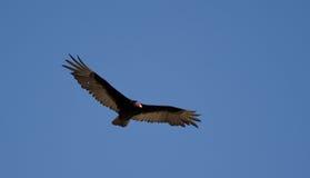 Avvoltoio della Turchia Immagine Stock Libera da Diritti