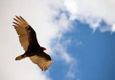 Avvoltoio della Turchia Immagini Stock
